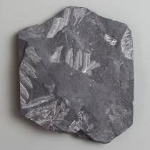 Alethopteris1-1