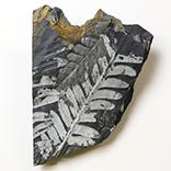シダ植物化石