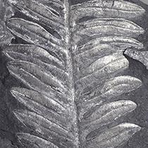 シダ種子類 アレソプテリス