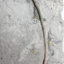 ウミユリの化石(Arthroacantha)