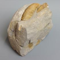 アンモナイト(Ataxioceras)