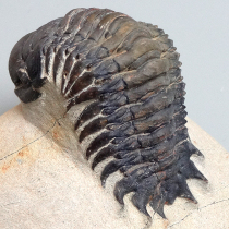 三葉虫(Crotalocephalina)