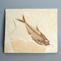 魚の化石(Diplomystus)