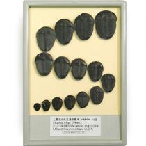 三葉虫の成長過程標本 15段