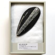 直角石類 オルソセラス