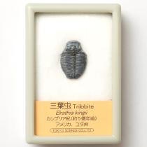 三葉虫 小 エルラシア・キンギ