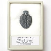 三葉虫 エルラシア・キンギ
