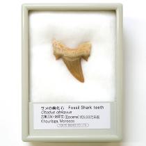 サメの歯化石 オトダス