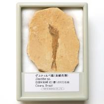 魚の化石 ダスティルベ属
