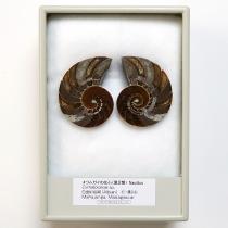 オウムガイの化石 ペア