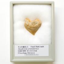 サメの歯化石 スクアリコラックス