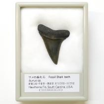 サメの歯化石 イスルス