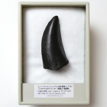 ティラノサウルスの歯(レプリカ)
