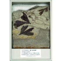 イチョウの化石