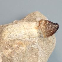 モササウルス類の歯(グロビデンス)