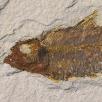 魚の化石(ナイティア)