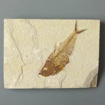 魚の化石(ディプロミスタス)