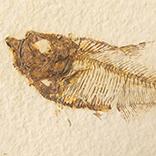 魚の化石(Green River Fm.)
