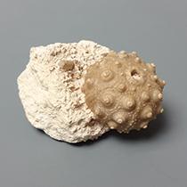 ウニの化石