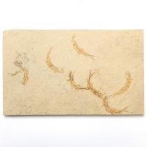 魚の化石(Leptolepides)