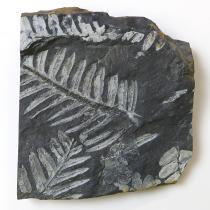 シダ植物化石 アレソプテリス