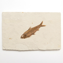 魚の化石(Knightia)