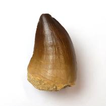 モササウルスの歯