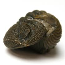 三葉虫(ファコプス)