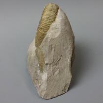 アンモナイト(Orthosphinctes)