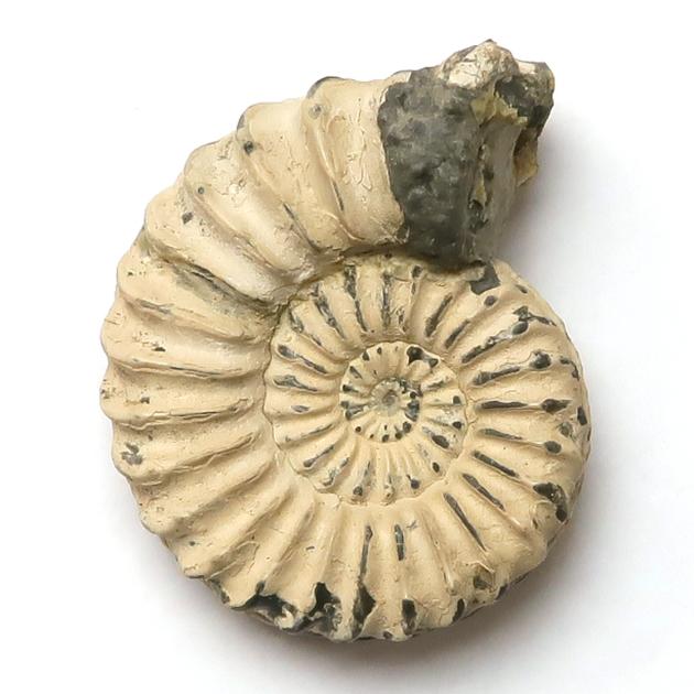 アンモナイト(Pleuroceras)