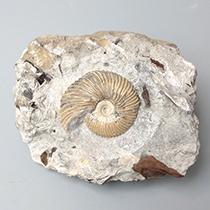 アンモナイト(Pseudocadoceras)