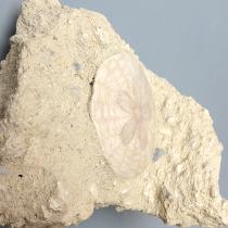 ウニの化石(Scutella)