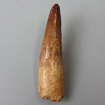 スピノサウルスの歯