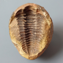 三葉虫(フレキシカリメネ)