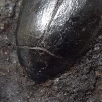 甲虫の化石
