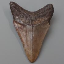 サメの歯(カルカロドン・メガロドン)